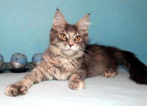 maine coon kitten sucht neues zuhause katze du. Black Bedroom Furniture Sets. Home Design Ideas